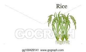 rice plant drawing. Contemporary Plant Rice Plant Vector Illustration Intended Plant Drawing N