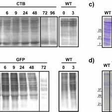 Stability of GFP and CTB proteins analysed by pulse-chase labeling.... |  Download Scientific Diagram