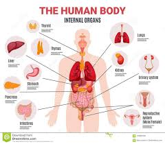 Picture Of Organs In The Human Body Total Human Body Organs 2020
