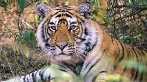 India's <b>Tigers</b>: A Threatened <b>Species</b> - YouTube