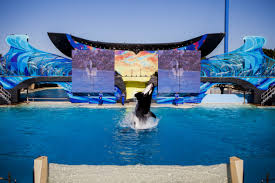 tilikum offspring chart. Delighful Tilikum A Documentary That Aims To Prove Killer Whales Donu0027t Belong In Captivity  Takes Several Shots At SeaWorld Inside Tilikum Offspring Chart E