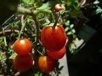 ミニ トマト 黒い 斑点