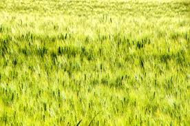 tall grass texture. Download Green Ear Texture Tall Grass Background Stock Photo - Image Of Crop, Growth: