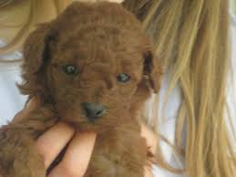 illinois breeder toy poodle puppies miniature poodles puppy moyen poodle puppies chicago peoria bloomington home
