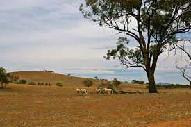 an essay on drought list the impacts of drought also list the  english sheep on a drought affected paddock near uranquinty