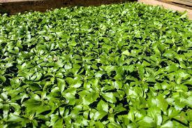 groundcover plant common pachysandra pachysandra plants ground cover yellow ground cover plants uk
