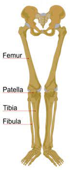 The lateral and smaller bone of the lower leg. Bones Of The Human Leg 17 Download Scientific Diagram
