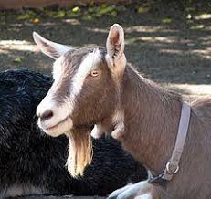 Dairy Goat Breeds Dairy Goat Breeds Toggenburg French Alpine And British