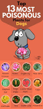 13 most poisonous plants for dogs
