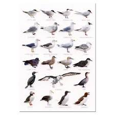 Details About Seabirds Gull A5 Identification Card Chart Postcard New