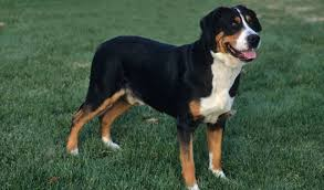 greater swiss mountain dog. Perfect Mountain Greater Swiss Mountain Dog Inside R