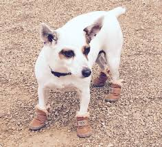 dog in boots at dog park