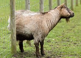 Goat Lice Winter Management Practices For Goats Nebraska Extension