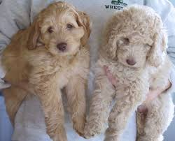 Small Picture 37 best Australian Labradoodles images on Pinterest Animals