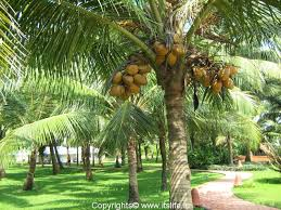 coconut trees clip art clip art on  the amazing coconut tree thinglink