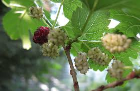 How To Identify Blackberry Plants  Home Guides  SF GateTree With Blackberry Like Fruit