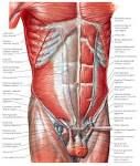 Images & Illustrations of abdominal wall