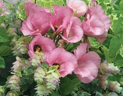 how to grow lisianthus garden gate