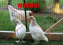 The Chicken Chick Quarantine Of Backyard Chickens When And HowHow To Keep Backyard Chickens