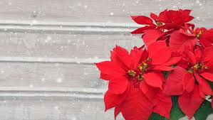 Christmas Poinsettia Care   Year-Round Tips - New England Today