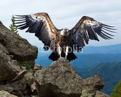 Image result for Ruppell's Griffon Vulture/ Gyps Rueppellii