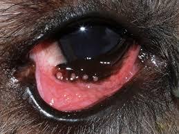 managing conjunctivitis in dogs