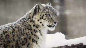Hd Snow Leopard Wallpapers Src Snow ...