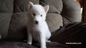white husky mix puppy.  White White Husky Puppy For Sale In White Husky Mix Puppy E