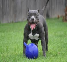 pitbull dog blue nose black and white. Modren Nose Bluepit_3 And Pitbull Dog Blue Nose Black White D