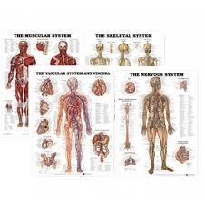 Anatomy Paper Chart Bundle Muscular Skeletal Nervous Vascular Systems