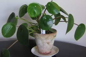 a plant with round leaves in a clay pot