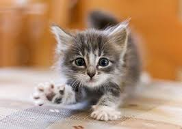 Kitten Socialization Chart How To Socialize Your Kitten Myawesomecat Com