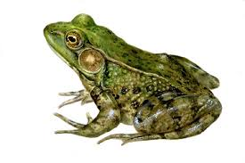 image of a frog. Contemporary Frog Green Frog With Image Of A 2