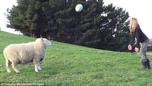 tuscany macdonald and her sheep bruce play rugby on the property in rotarua new zealand