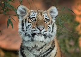 images of tigers. Modren Tigers India Is Now Home To 60 Per Cent Of The Worldu0027s 4000 Tigers Intended Images Of Tigers L