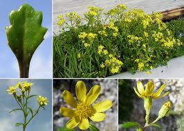 Senecio leucanthemifolius Poir. subsp. leucanthemifolius - Portale ...