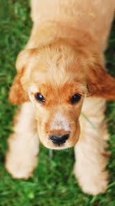 Cute Puppy Dog Wallpaper for iPhone and ...