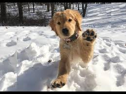 golden retriever puppies playing in snow. Plain Snow Golden Retriever Puppy Playing In Snow For The First Time Brady 11 Weeks   Furry Fridayu0027s 2 Intended Puppies In E