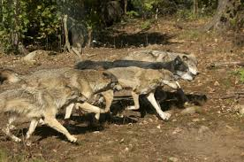 gray wolf pack in forest. Contemporary Forest Meet The Grey Wolf Pack Of Haliburton Forest And Gray In L