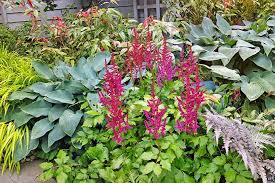 astilbe adds vibrant color to the shade garden gardenerspath com