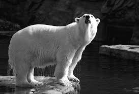 Does Polar Bear Hair Conduct Light And Therefore Heat Bionics In Textiles Flexible And Translucent Thermal