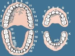 Dental Numbers Wikem