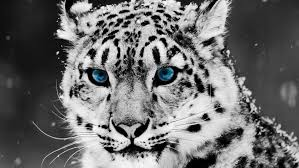 baby white tigers with blue eyes. Black And White Tiger With Baby Blue Eyes Wallpaper Intended Tigers