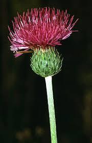 Cirsium tuberosum - Wikipedia