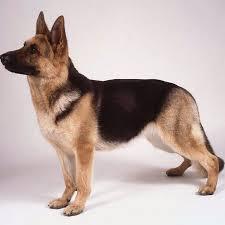 short haired german shepherd with angulation