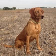 sold dogs outback kennels retriever hunting dog for countryways clearmeadow on gundog breeders uk