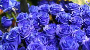 rose, Flowers, Flower, Roses, Bokeh ...