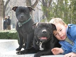 boy with two staffordshire bull terriers