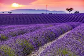 10 tips for growing lavender