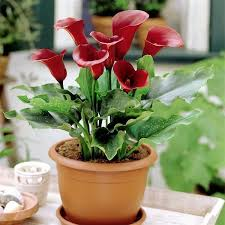 calla lilies are beautiful but at the same time they are one of the poisonous plants for dogs and cats when the plant is chewed clinical signs are